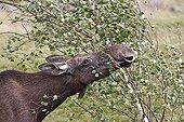 Portrait d'un Elan femelle dans les Highlands en Ecosse