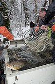 Capture of lake trout to reproduce Switzerland