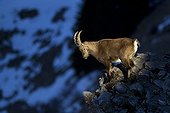 Young Ibex male on rocks Valais Alps Switzerland