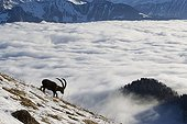 Ibex male in rut and sea of clouds Valais Alps Switzerland