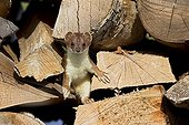 Young Hermine in a woodpile Swiss Alps