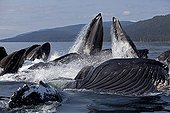 Feeding behavior in groups of humpback whales Humpback whale