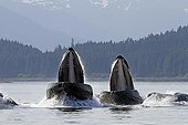 Feeding behavior of humpback whales Alaska