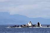 Feeding behavior of humpback whales Alaska no