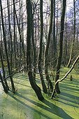 European alders in a pound invaded by duckweed