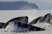 Humpback whales hunting with Bubble net feeding Alaska ; Feeding behavior of group