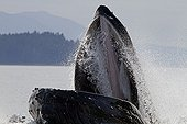 Humpback whale  hunting with Bubble net feeding Alaska ; Feeding behavior of group