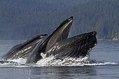 Bubble net feeding of Humpback whales in Alaska ; Feeding behavior in groups.