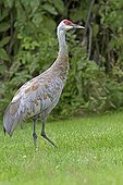 Sandhill cranes in the Kenai Peninsula in Alaska