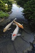 Koi in a water