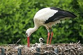 Feeding young Storks a week old