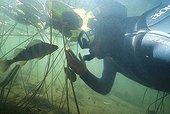 Diver and European Perch in a lake Jura France