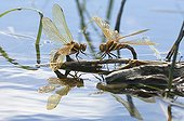 Brown Hawkers sponding to the surface of a lake Jura France ; p. 139