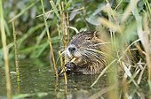 Nutria eating in the lake water Jura France ; p. 141