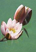 Perch watching Damesflies on Water Lily flower Jura France ; p. 169
