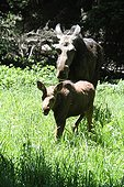 Elan femelle et son jeune dans le PN du Grand Teton USA