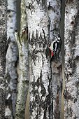 Male Great spotted woodpecker looking for food on a birch
