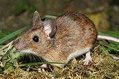Yellow-necked Field Mouse in summer France
