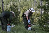 Volunteers destroying invasive plants Yellowstone NP USA ; These volunteers are fighting against invasive plants, but paradoxically they use pesticides to do so without knowing the chemical they spray in an area particularly at risk because a wetland : a bog.