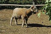 Rambouillet Merino Sheep Bergerie Nationale de Rambouillet
