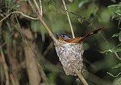 Madagascar Paradise-flycatcher female sitting on its eggs