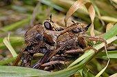 Asilids mating in the Vosges du NordNRP France