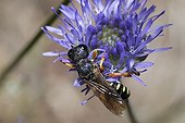 Wasp on a flower in the Vosges du Nord NRP France