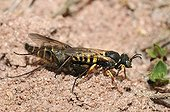 Wasp having captured a Asilid in the Vosges du Nord NRP