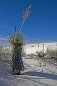 Sand dune with Soaptree Yucca White Sands NM USA ; Leaves used by Amerindians to make sandals, cloth and cords.<br>Roots used as the soap and shampoo.