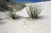 Sand dune with Soaptree Yucca buried White Sands NM USA ; Leaves used by Amerindians to make sandals, cloth and cords.<br>Roots used as the soap and shampoo.