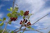 Skunkbush sumac berries White Sands NM USA ; Edible berries.Used by Amerindians to make a tea or a lemonade. Many medicinal uses.