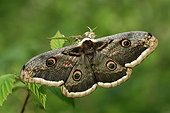 Giant Peacock moth in the Vosges du Nord NRP France