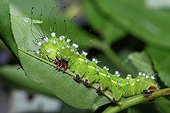 Caterpillar of Giant Peacock moth in the Vosges du Nord NRP