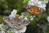Giant silkworm moths in the Vosges du Nord NRP France
