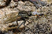 Robber fly eating a Parasitic hymenoptera Vosges du Nord NRP