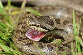 Smooth snake's mouth open