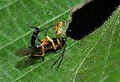 Ichneumon sticking a spider Vosges du Nord NRP France