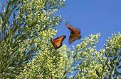 Monarchs in flight over flowers White Sands NM USA