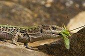 IItalian wall Lizard male eating a grasshopper France