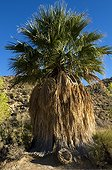 California Fan Palm Joshua's Tree NM California USA ; Used by Cahuilla tribe for food and for making baskets