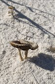 Mushrooms on sand White Sands NM New-Mexico USA