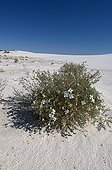 White sands fan-mustard on sand White Sands NM New Mexico