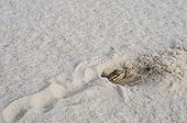 White sands Prairie Lizard in sand White Sands NM Nex-Mexico