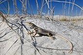 White sands Prairie Lizard on sand White Sands NM Nex-Mexico