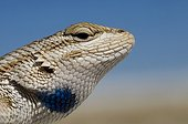 Portrait of White sands Prairie Lizard White Sands NM USA