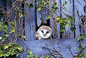 Barn Owl peering from nest site in derelict barn UK