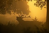 Silhouette of Red Deer stag calling at dawn in autumn UK