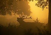 Silhouette de Cerf élaphe mâle bramant à l'aube en automne