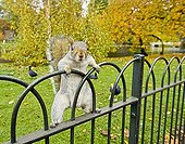 Grey Squirrel in St James Park London UK