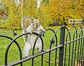 Grey Squirrel in St James Park London UK